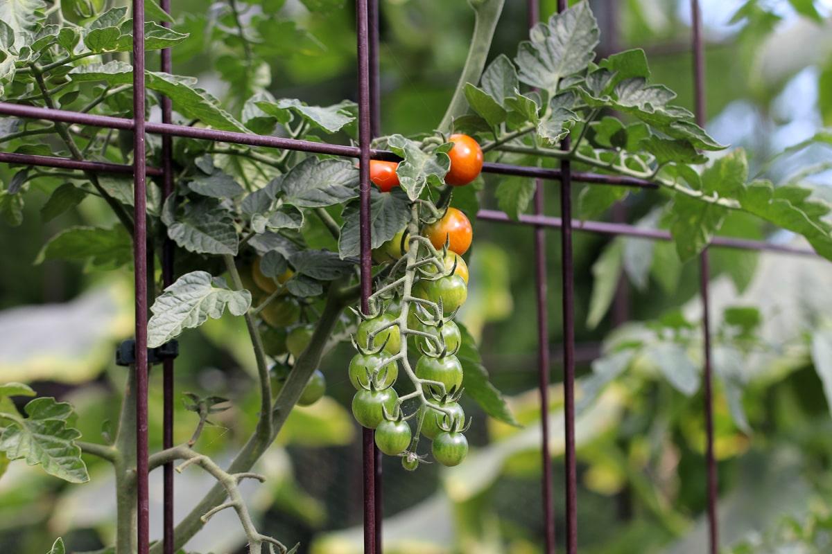 Tomaten beheizen