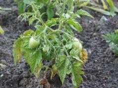 Tomatenblätter rollen sich