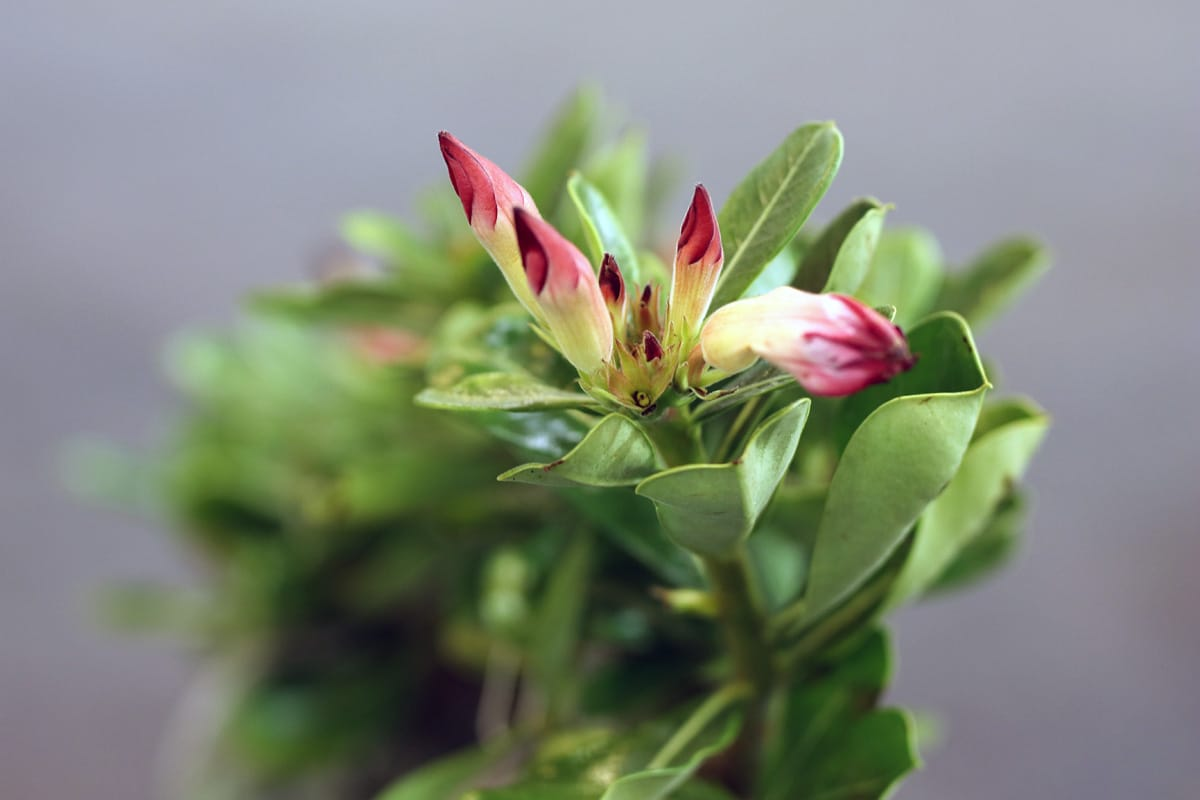 Wüstenrose, Adenium, blühende Sukkulente