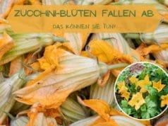 Zucchini Blüten fallen ab