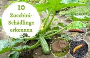 Zucchini-Schädlinge