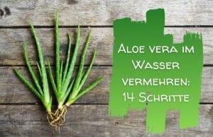 Aloe vermehren
