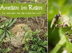 Ameisen im Rasen bekämpfen
