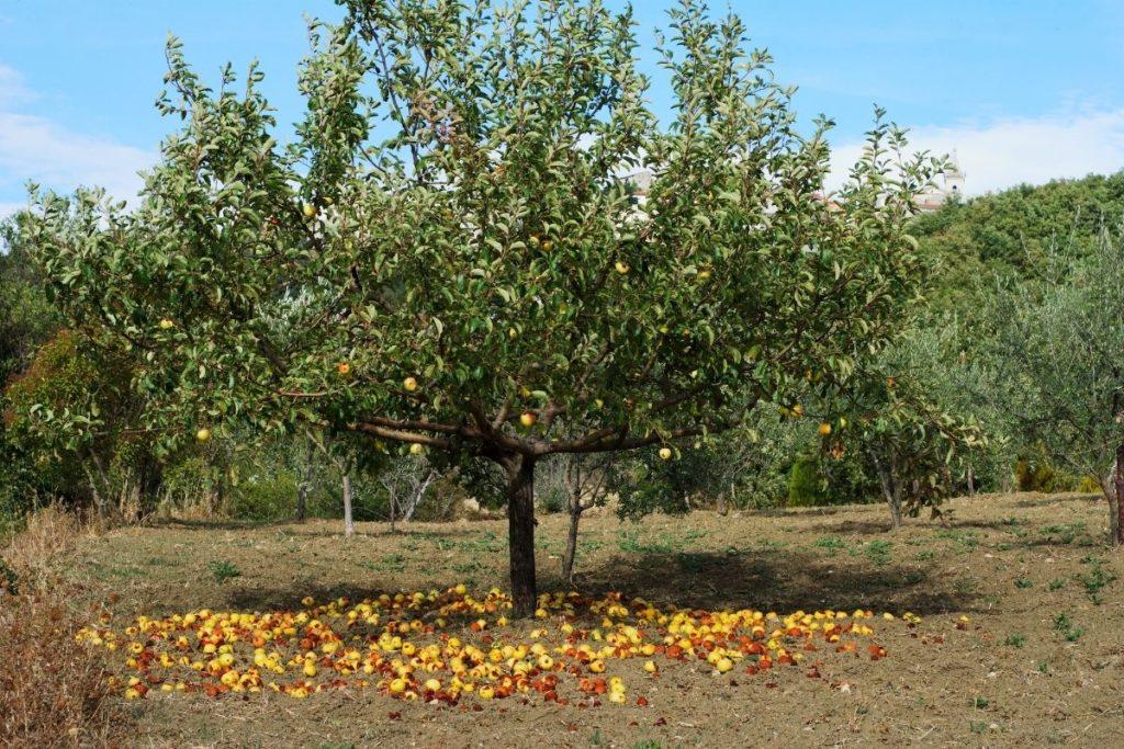 Apfelbaum, Äpfel am Boden, Baumarten