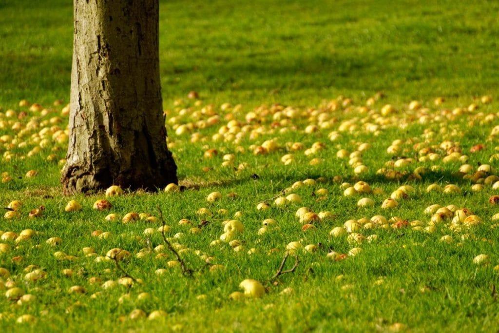 Apfelbaum, Äpfel am Boden