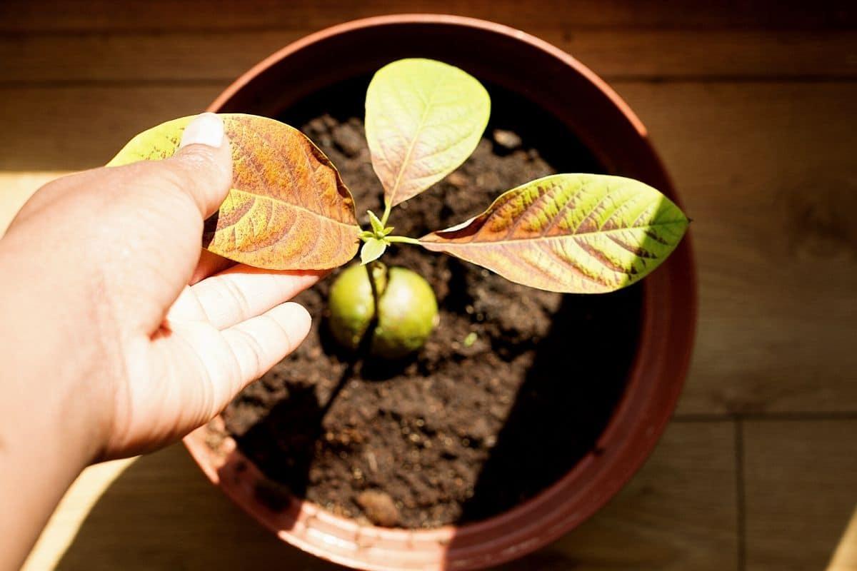 Avocado braune Blätter