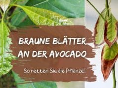 Avocadopflanze