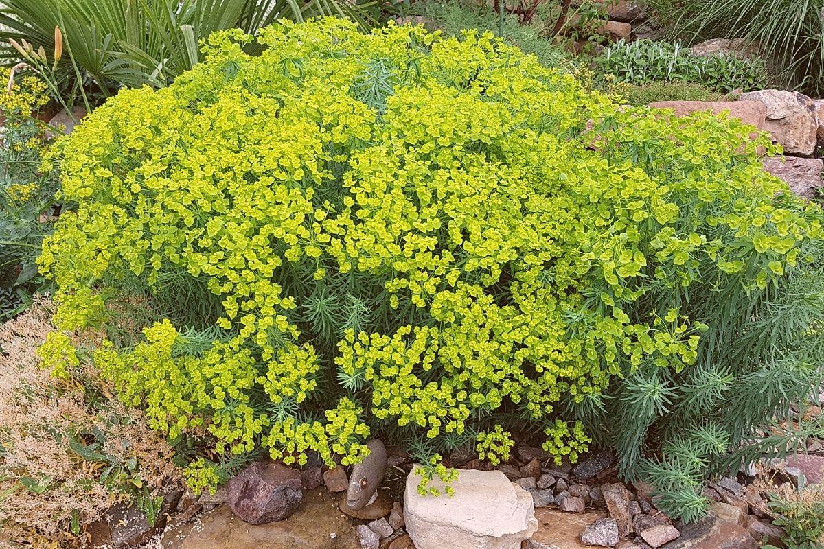 Bläuliche Wolfsmilch (Euphorbia seguieriana subsp. niciciana)