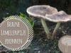 Braune Pilze mit Lamellen