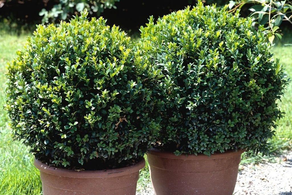 Buxus sempervirens, Buchsbaum, Schattengehölze