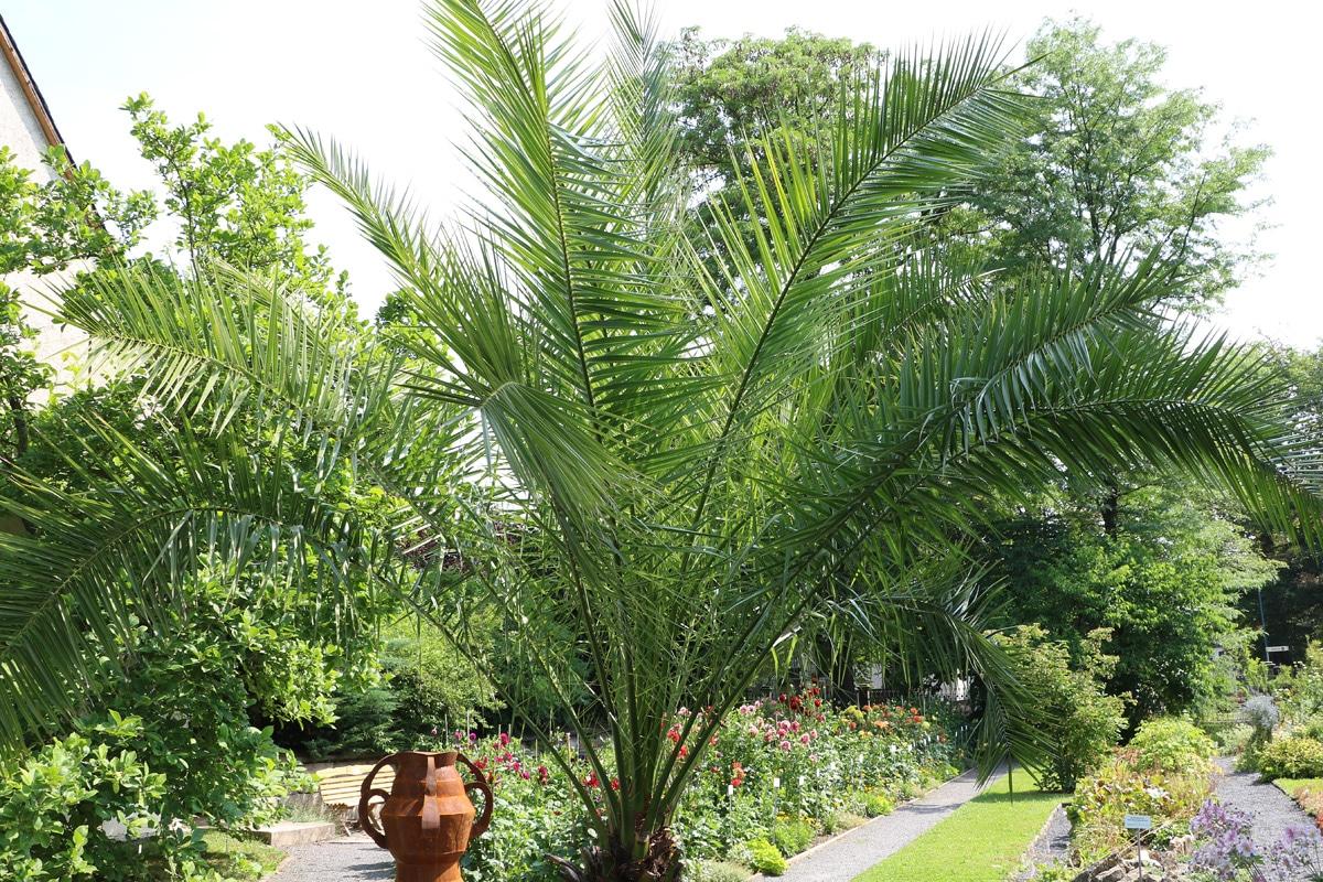 Dattelpalme, Phoenix, Palmen Wachstum
