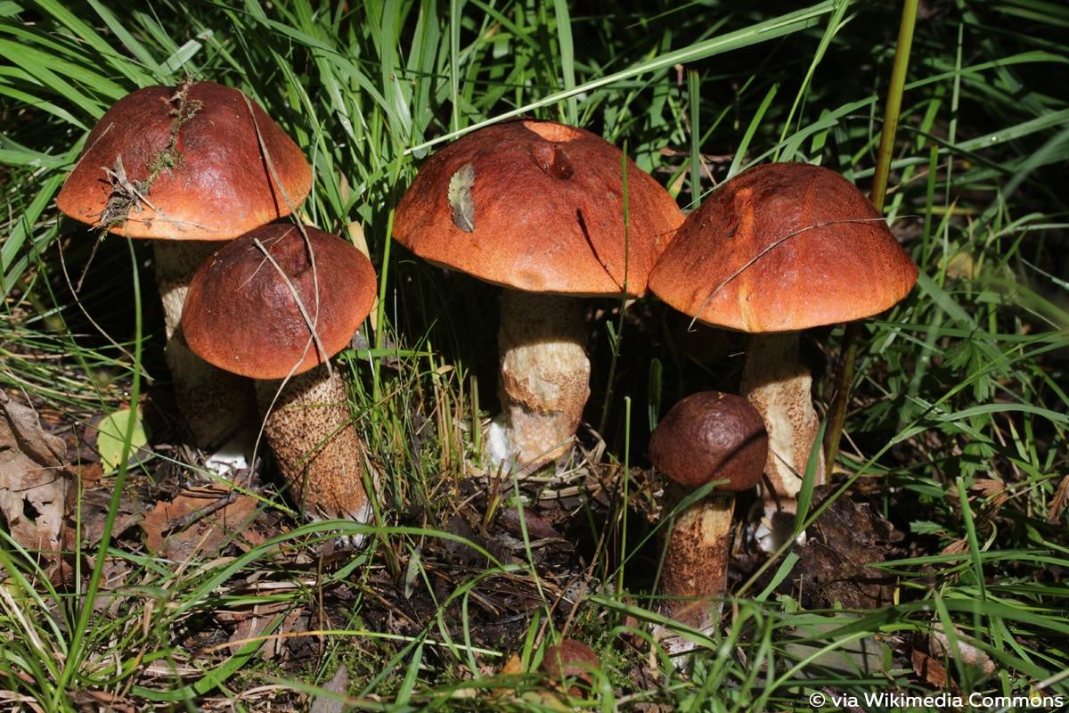 Eichenrotkappe (Leccinum aurantiacum)