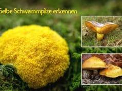 Gelbe Pilze mit Schwamm erkennen