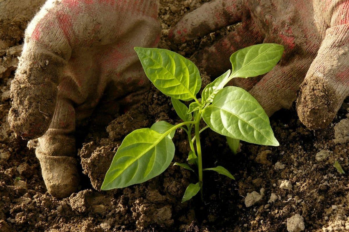 Paprikapflanze