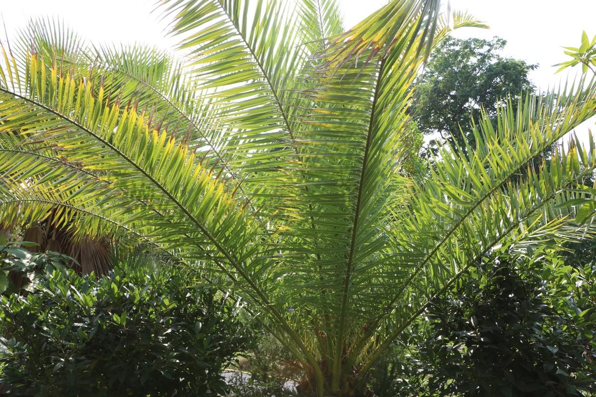 Kanarische Dattelpalme, Palmen Wachstum