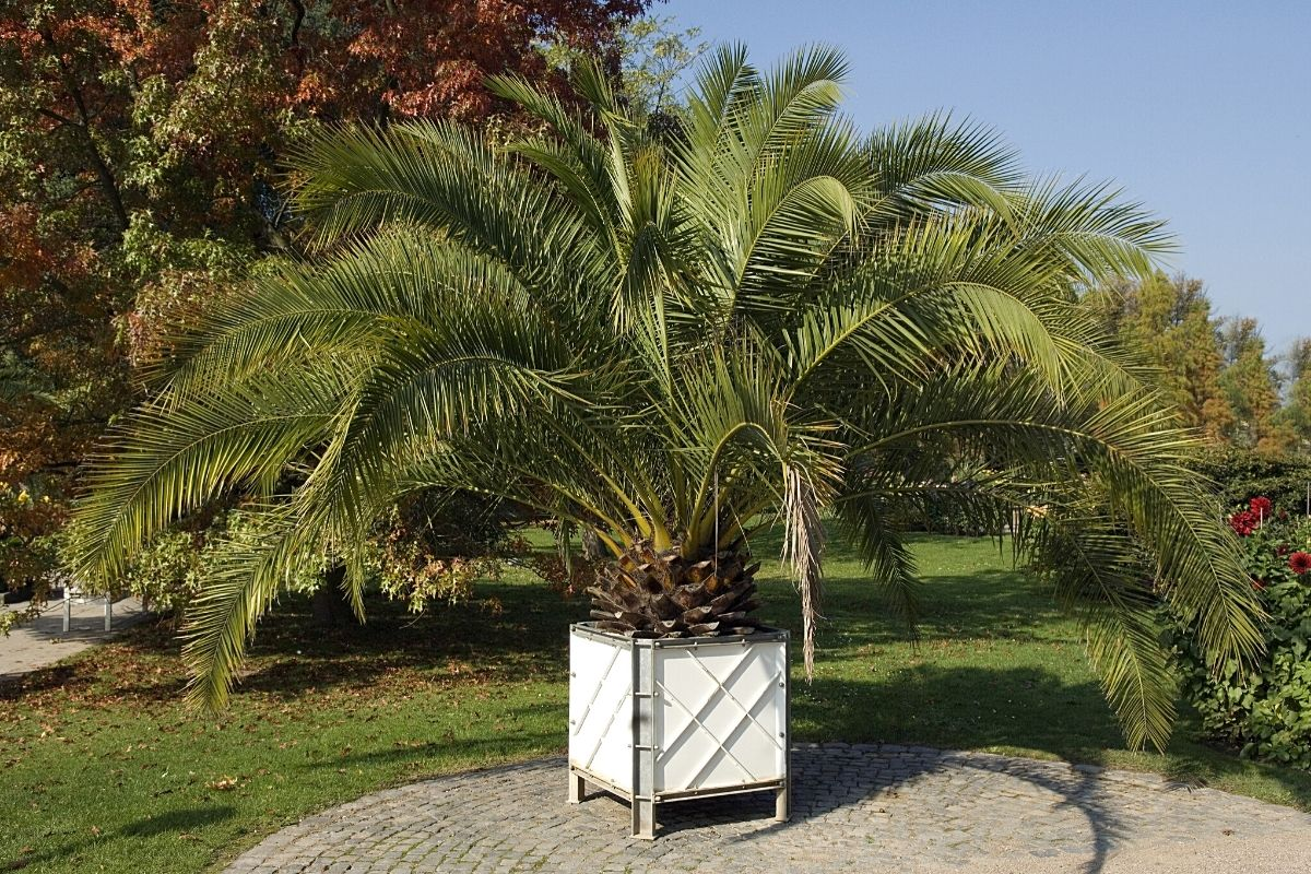 Kanarischen Dattelpalme (Phoenix canariensis