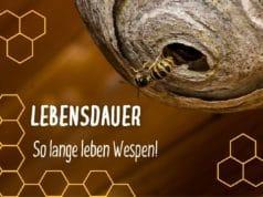 Lebensdauer Wespen