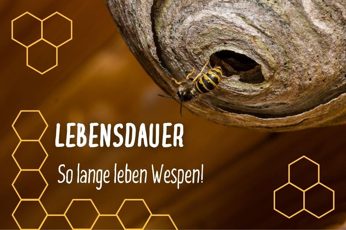 Wie Lange Leben Wespen