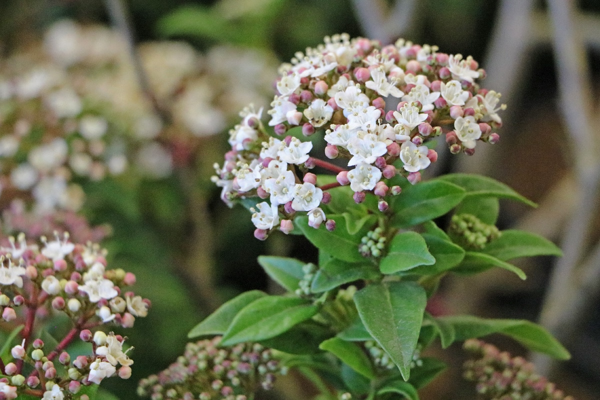 Lorbeer-Schneeball 'Gwenllian' (Viburnum tinus 'Gwenllian')