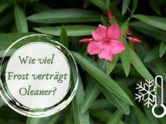 Oleander Frost