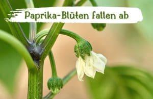 Paprika-Blüten fallen ab