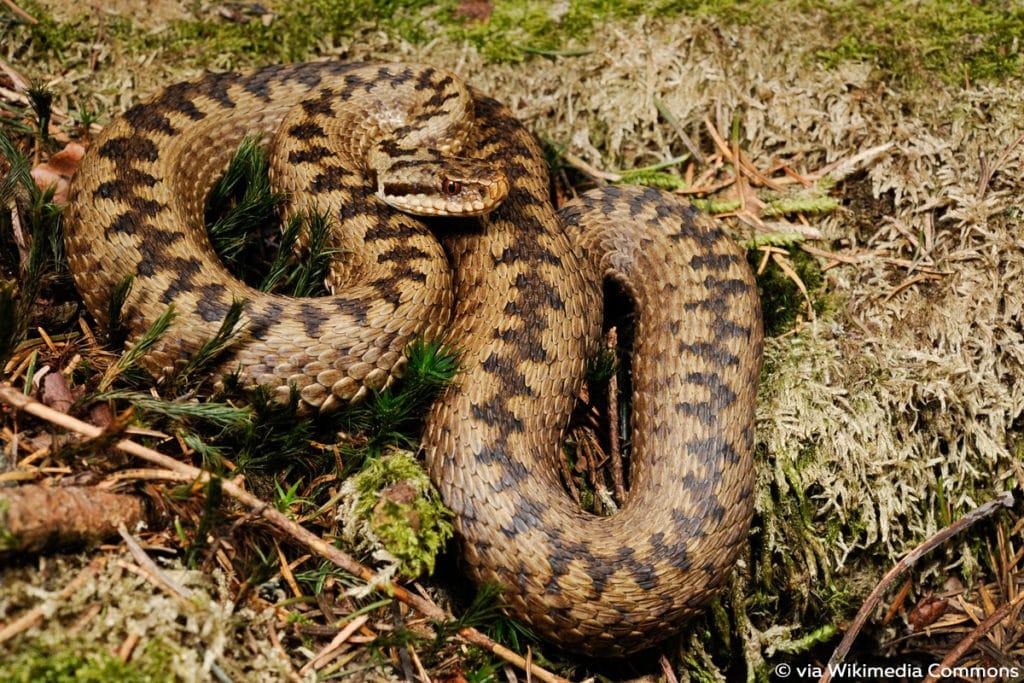 Kreuzotter (Vipera berus), Schlange