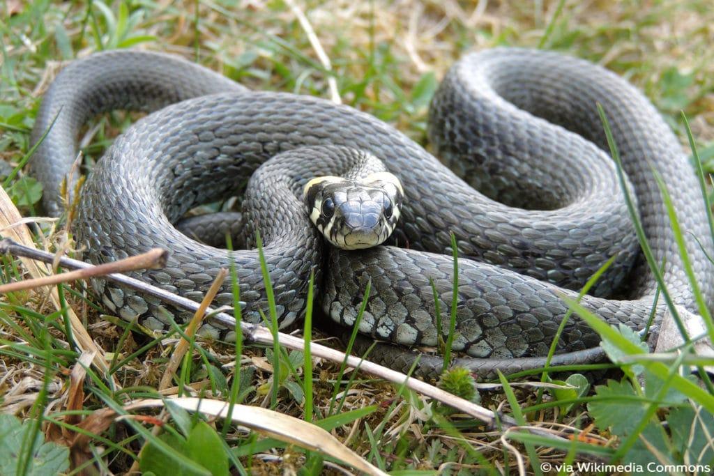 Ringelnatter (Natrix natrix), Schlange