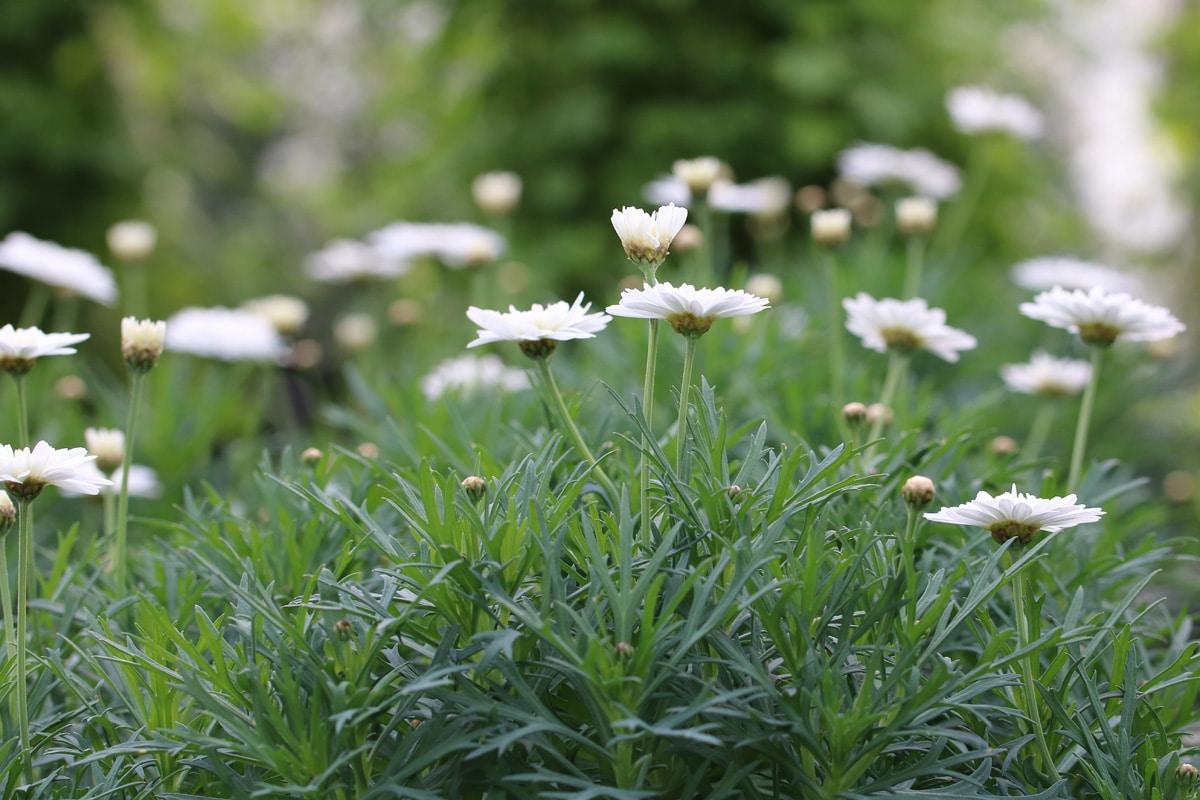 Strauchmargeriten (Argyranthemum)