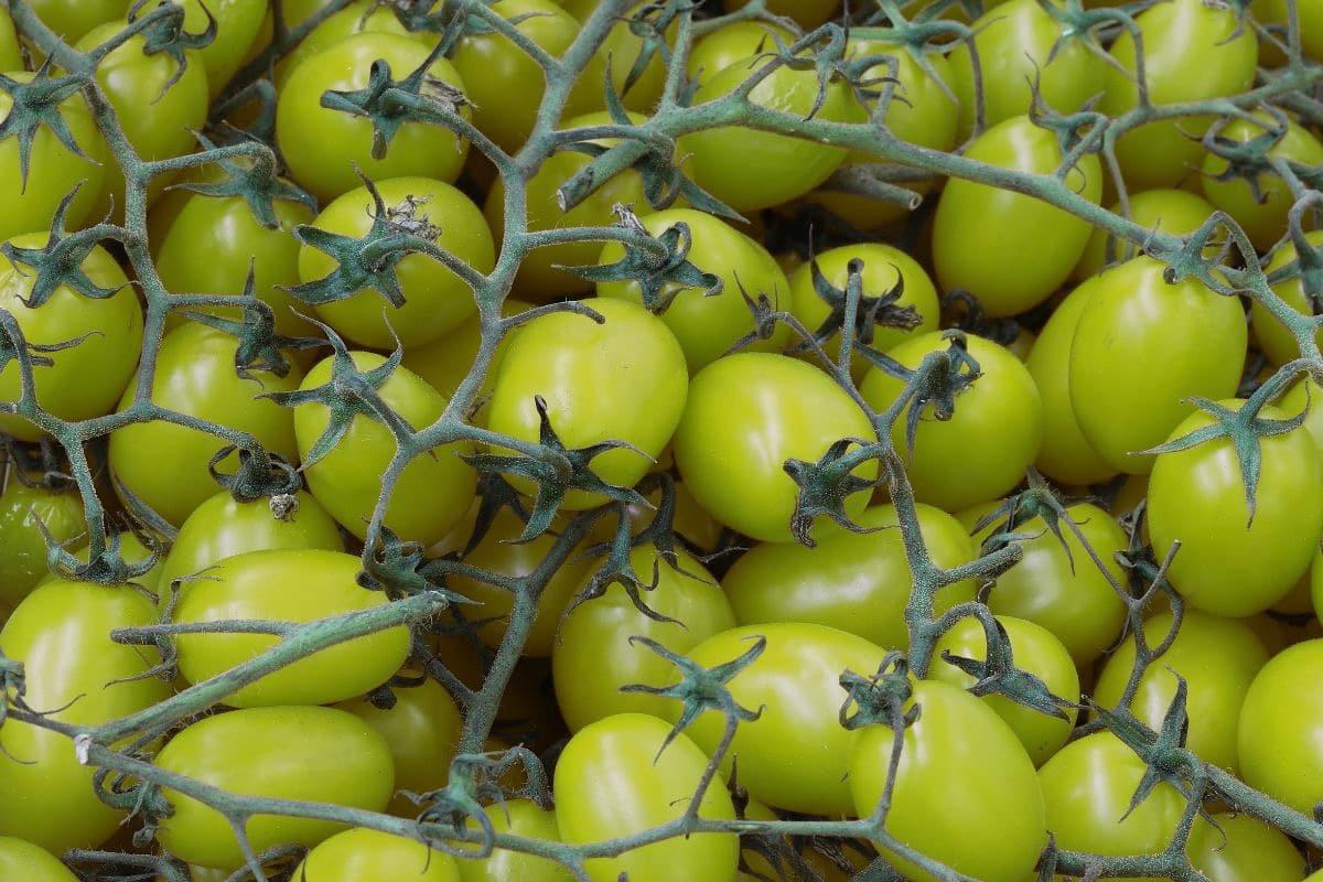 grüne Tomaten ernten