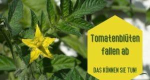 Tomatenblüten fallen