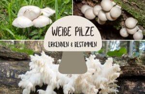 Weiße Pilze erkennen