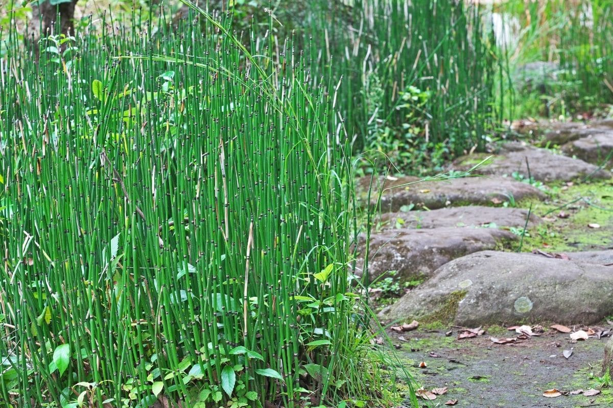 Winter-Schachtelhalm (Equisetum hyemale var. robustum), Winterpflanze