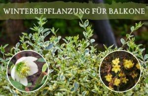 Winterpflanzen für Balkone