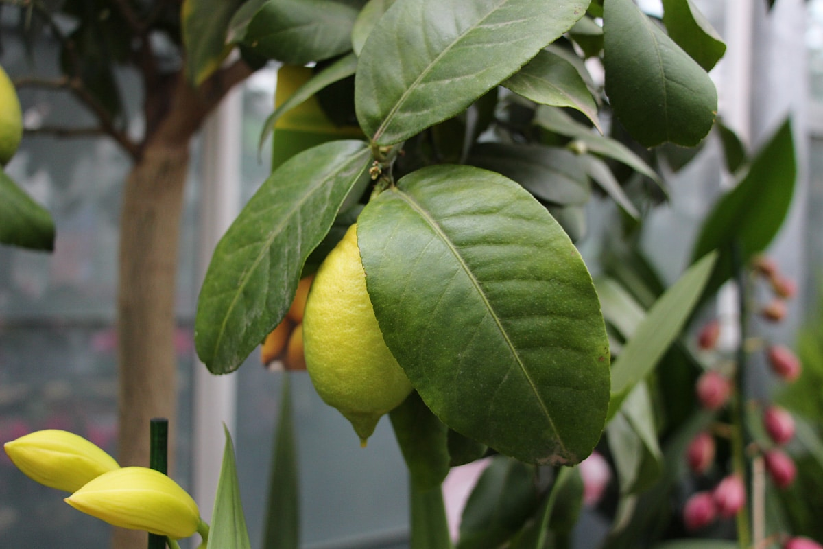 Zitronenbaum, Früchte