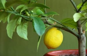 Zitronenbaum. Pflanzen Südbalkon