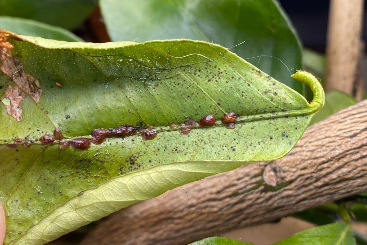 Schädlinge am Citrus x limon