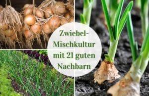 Zwiebel-Mischkultur