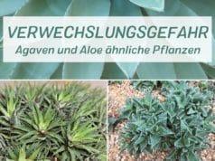 Agaven und Aloe ähnliche Pflanzen