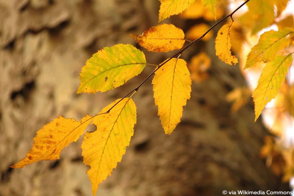 Amerikanische Hainbuche - Carpinus caroliniana