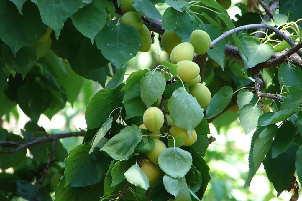 Aprikosenbaum (Prunus armeniaca)