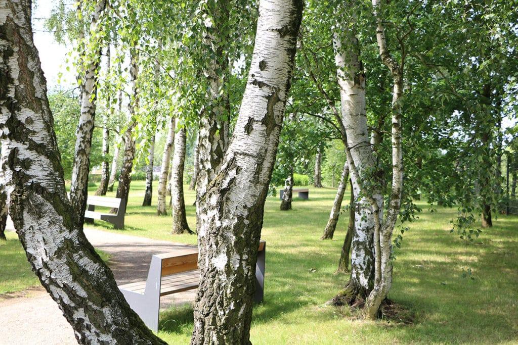 Birke (Betula), Baumarten