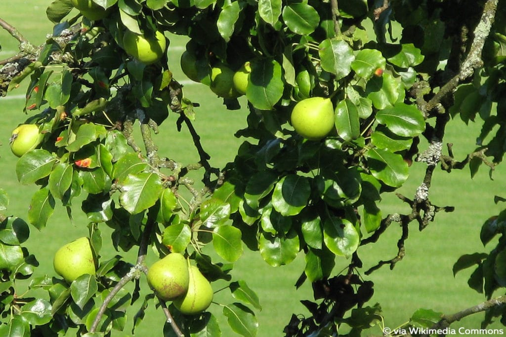Birnbaum (Pyrus communis), Baumarten