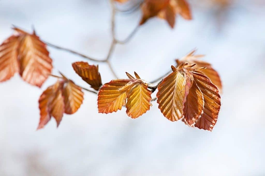 Blutbuche - Fagus sylvatica purpurea