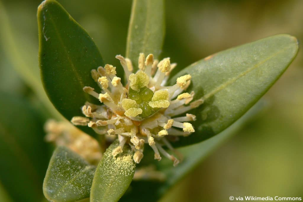 Buchsbaum blüht
