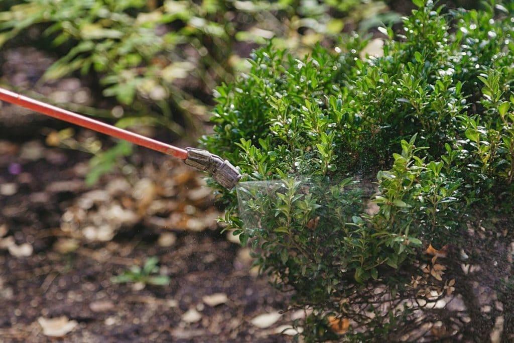 Buchsbaum Schädlinge bekämpfen