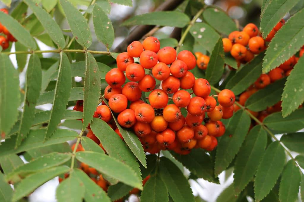 Baumarten, Eberesche (Sorbus aucuparia)