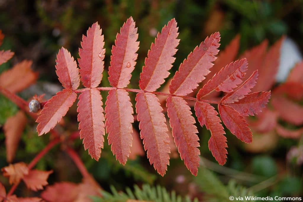 Eberesche, Sorbus aucuparia, rote Blätter im Herbst