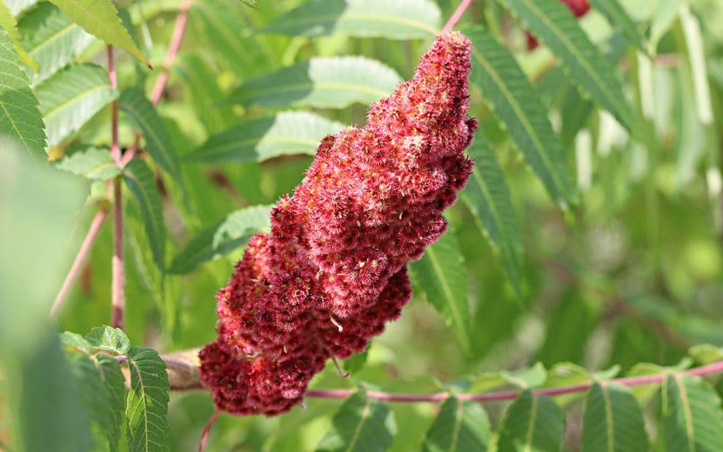Essigbaum (Rhus typhina), Kübelpflanzen, Schattenspender
