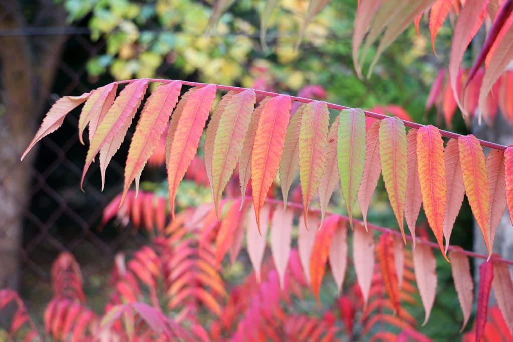 Essigbaum - Rhus typhina, rote Blätter im Herbst