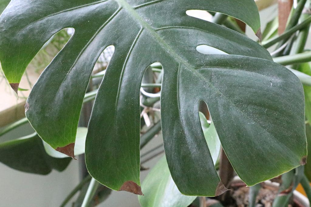 Zimmer-Hängepflanzen - Fensterblatt (Monstera deliciosa)